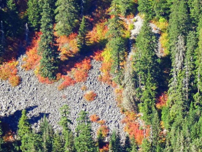 Vine maple, turned bright orange in autumn.