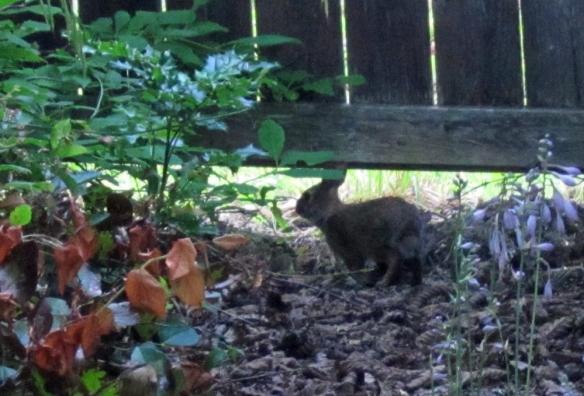 Bunny 17 clear