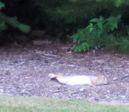 Bunny rolling