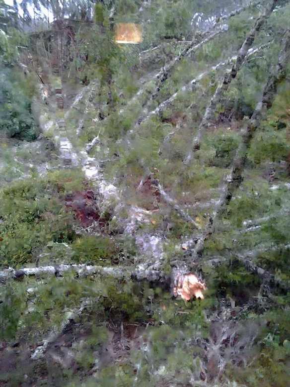Downed Tree Dec 2015
